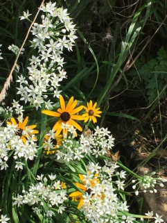 Black eyed Susans and Onion Flowers