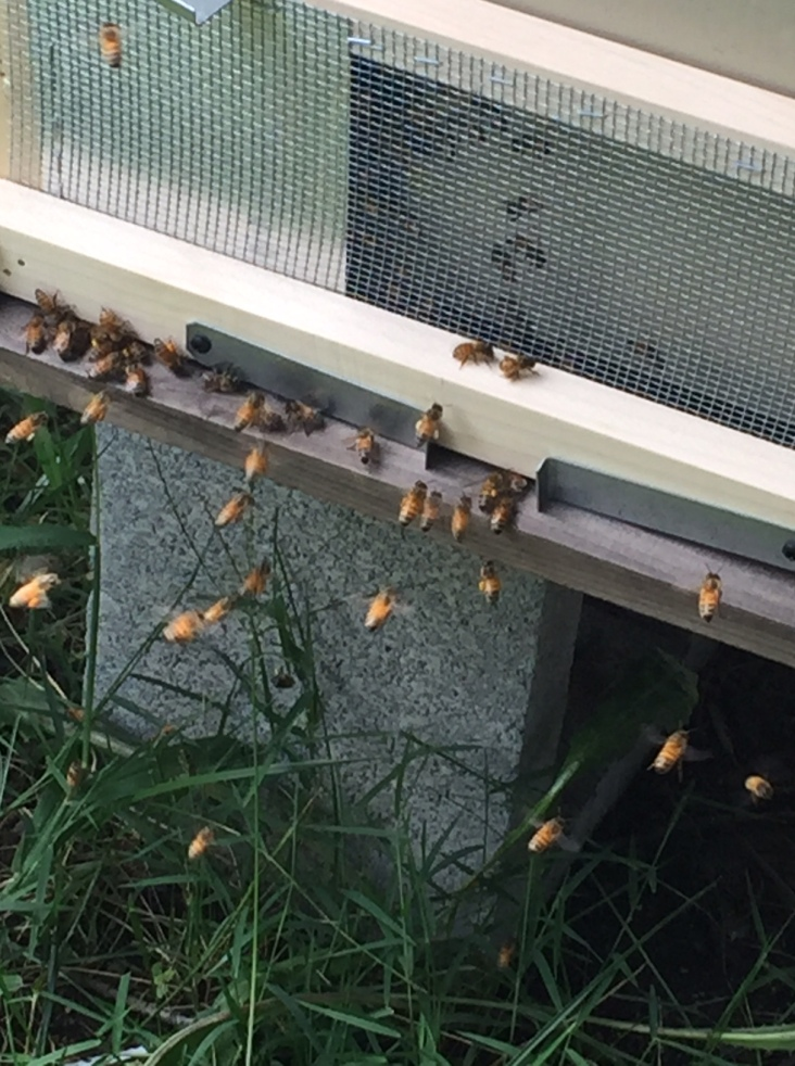 We added a robbing screen to one of the hives.