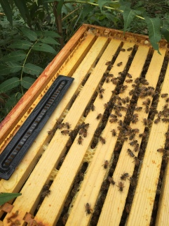 The hive beetle trap