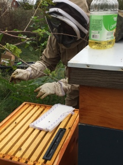 Controlling hive beetles