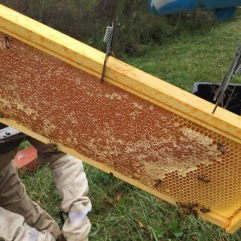 Pulling out a frame of honey