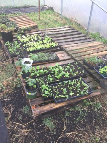 New seedlings for greenhouse