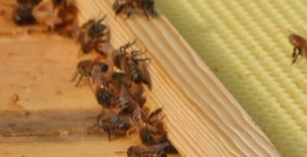 Bees from Hive 1